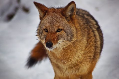 "Coyote hunting: ""Who the howl cares?"""