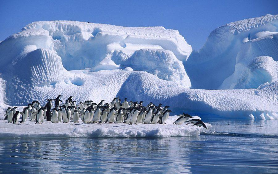 Adelie_Penguins_diving,_Hope_Bay