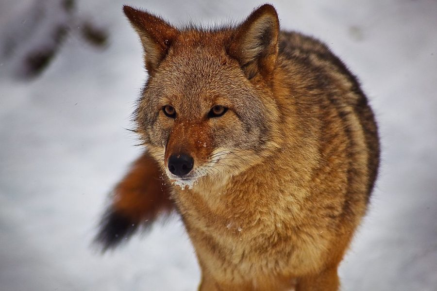 Coyote hunting: